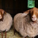 Rich in fiber: Tour will let local farms show off abundance, variety of sheep