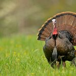 Outdoor Journal: Turkey season underway