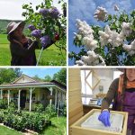 In Cherry Valley, grower uses old-world technique to make essential oils from lilacs