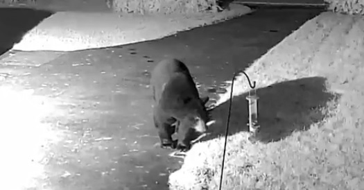 Barking dogs lead to discovery of wandering bear caught on camera in Princetown