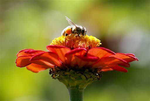 In this Sept. 1, 2015 photo, a honeybee works atop gift zinnia in Accord, N.Y.