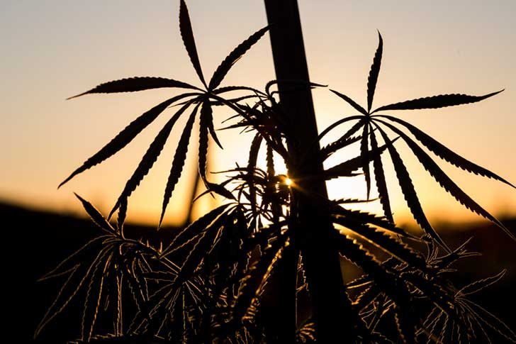 Marijuana grows at a legal collective in the hills near Clearlake Oaks, Calif., July 11, 2014.