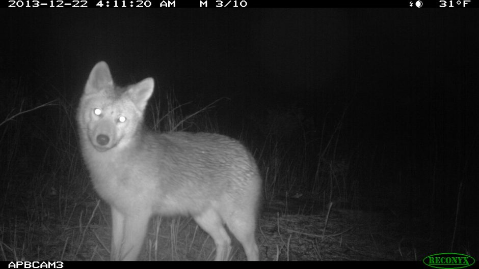 A night vision camera captured this image of a coyote in the Albany Pine Bush. (Albany Pine Bush Preserve)
