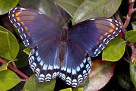 The Red Spotted Purple, one of the nominees for State Butterfly of NY and competitor of the Karner Blue butterfly.