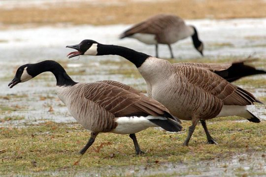 Geese are seen at Collins Park in Scotia in March 2007.