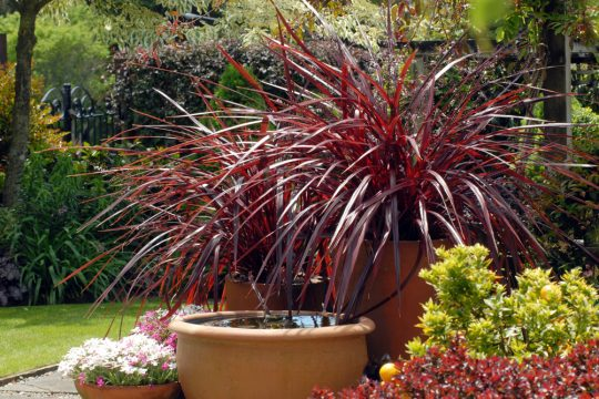 New for 2008: With its glossy mahogany/burgundy leaves, compact bushy form and cascading habit, Festival Grass, the dramatic new cordyline from Anthony Tesselaar Plants, introduces something new and desirable to the summer garden, landscape and container