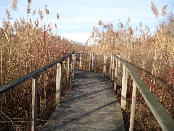 The Great Flats Nature Trail on Campbell Road in Rotterdam  includes an extensive boardwalk system that takes hikers through a marshy area with cattails more than 12 feet high. (photo: Bill Buell/Gazette Reporter)