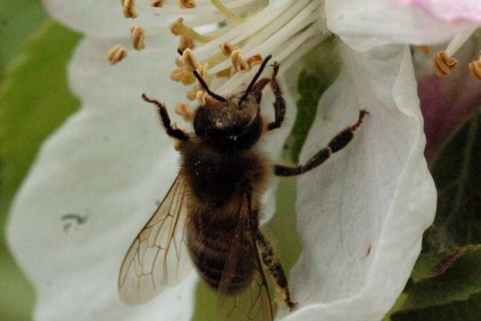 A bee pollinates an apple blossom Friday at Riverview Orchards in Rexford.