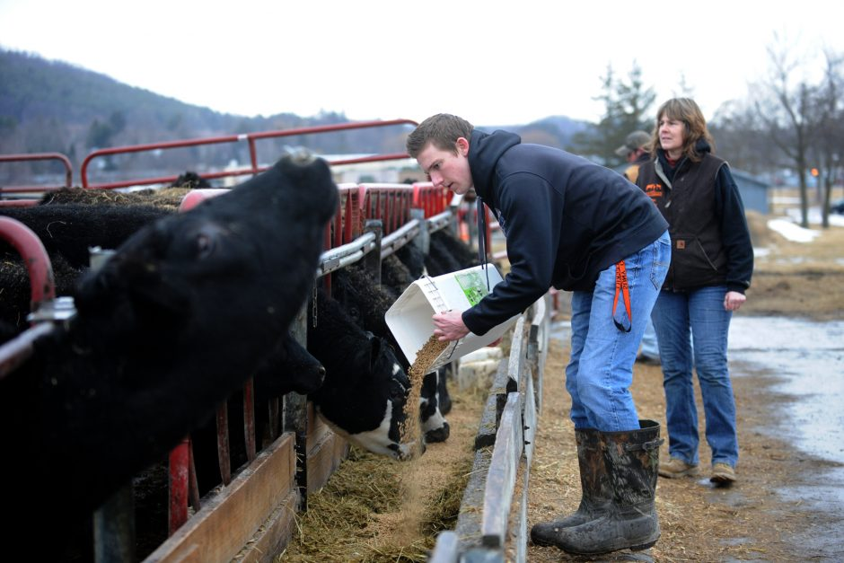 Zec Kehoe, a first-year animal science major at SUNY Cobleskill, feeds cows on Tuesday.