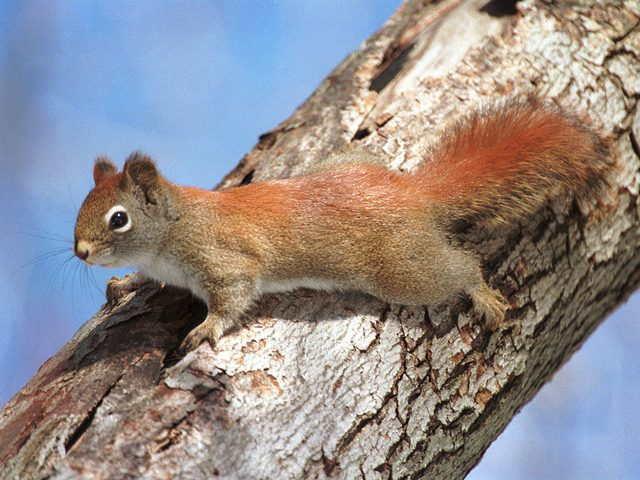 This photo from last March was taken when a perturbed red squirrel perched on the limb of a red maple and proceeded to give me a piece of its mind. (photo: Bill Danielson)