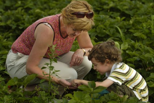Betsy Bitner and her son, Duncan Brown, 3, pick strawberries at Bowman Orchards on Monday.