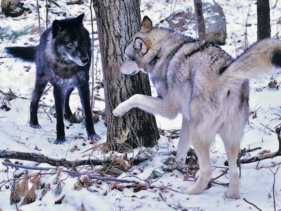 Zeebie, left, and Cree are seen at the Adirondack Wildlife Refuge & Rehabilitation Center in Wilmington. (Ken Rimany/Adirondack Wild)