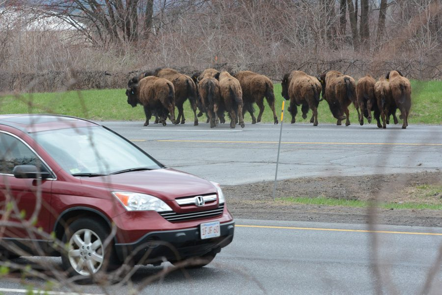 A herd of bison cross the New York State Thruway in Selkirk, headed south towards New York City, on Friday, April 24, 2015. The bison got lose from a farm nearby in Schodack.