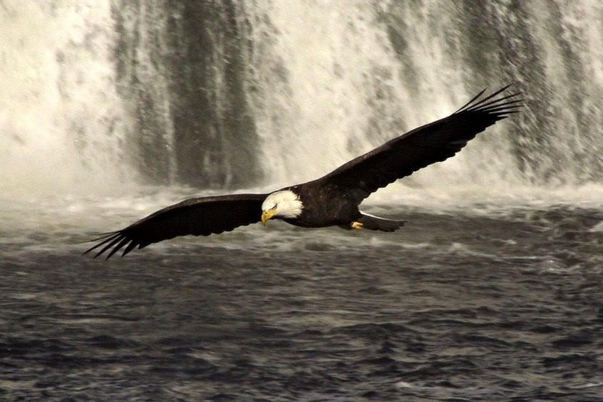 This bald eagle flying over the Cohoes Falls was photographed by Schenectady filmmaker Mike Lemery in November of last year.
