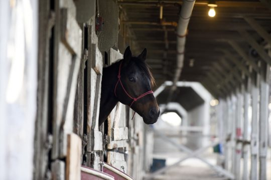 A horse stands in its barn on the Oklahoma Training Track during opening day of training in Saratoga on Monday, April 17, 2017.
