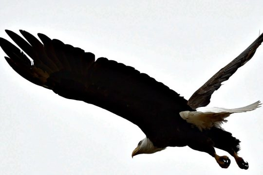 Birds like eagles and other animals that feed on carcasses are subject to potential lead poisoning.