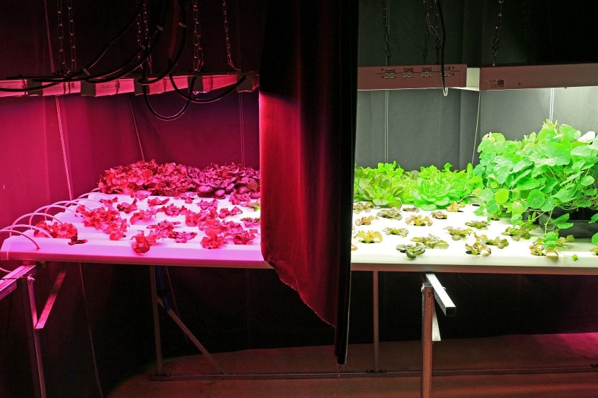 Lettuce is shown growing under various types of artificial light June 5, 2017, at Rensselaer Polytechnic Institute in Troy.