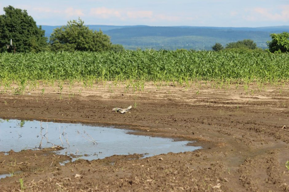 Bare patches are visible in a corn field at Pruyn Hill and Farm to Market roads in Halfmoon on Tuesday.