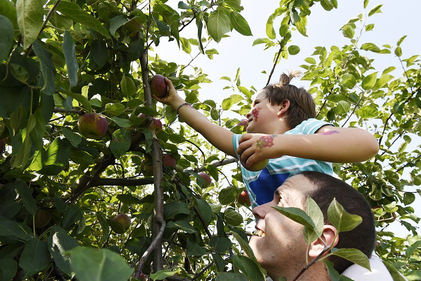 Annabelle Lothrop, 5, picks apples at Riverview Orchards.