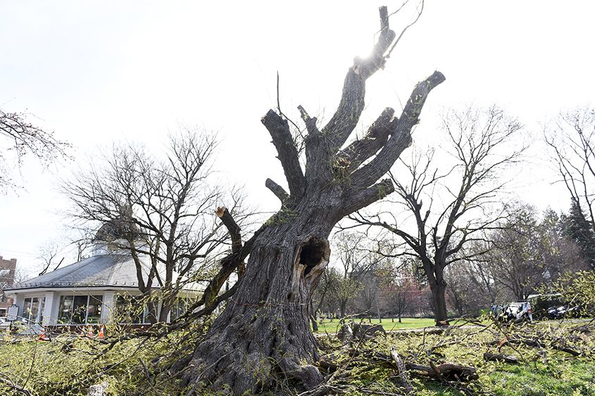 Saratoga DPW workers cut down this 50- to 70-year-old willow tree in Congress Park on Wednesday, May 2, 2018.
