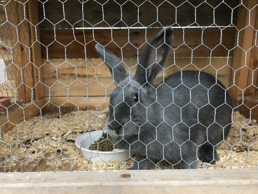 One of the rabbits in its hutch.