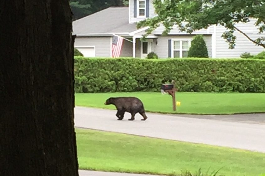 Marcia Lyon of Wilton snapped this picture of a bear on Hopeful Lane in Wilton on Friday morning.
