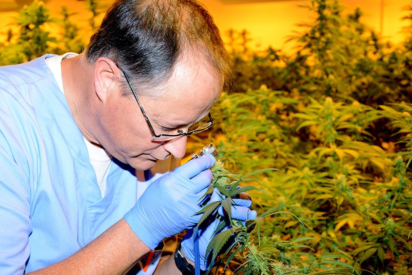 Chuck Schmitt inspects a medical marijuana plant at Vireo Health of New York on Nov. 11, 2015.