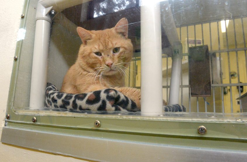 Jasper relaxes at the Animal Protective Foundation in Glenville last year. The cat was found with 17 kittens in a closed bin.
