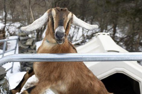 Lincoln the goat was elected honorary mayor of Fair Haven, Vt.