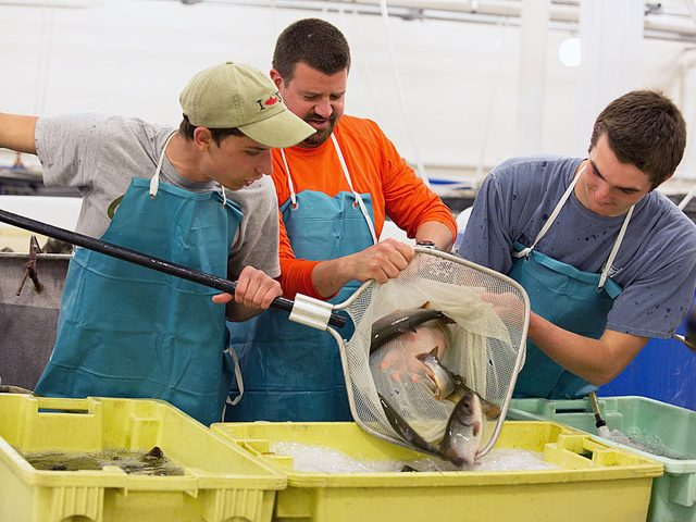 Students work in SUNY Cobleskill's fish hatchery.
