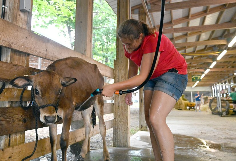 Sarah Pettis of Sugerhill Farms, Rexford, washes a Jersey cow in one of the livestock barns at the fairgrounds Monday.