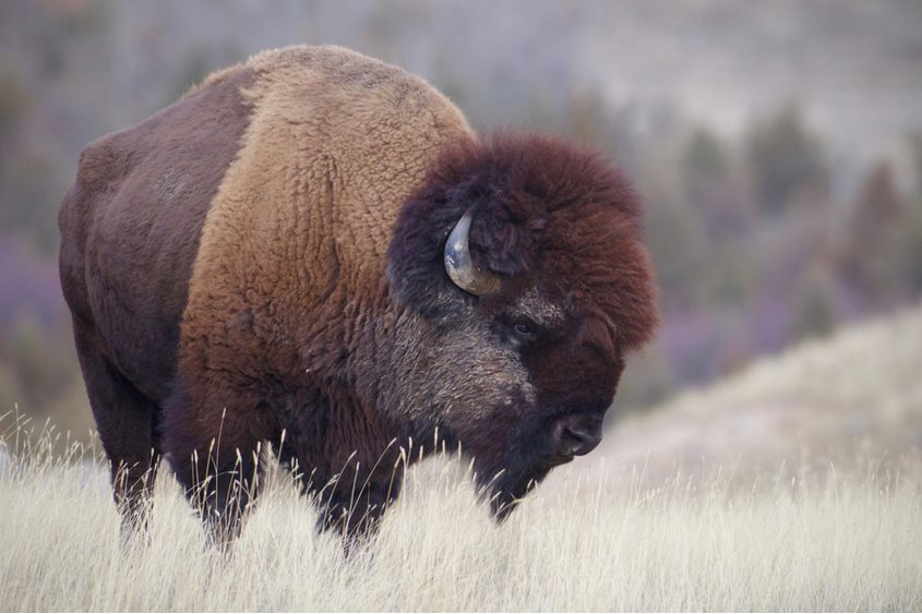 Above is an American bison similar to those that got loose this weekend from a Sharon Springs farm.