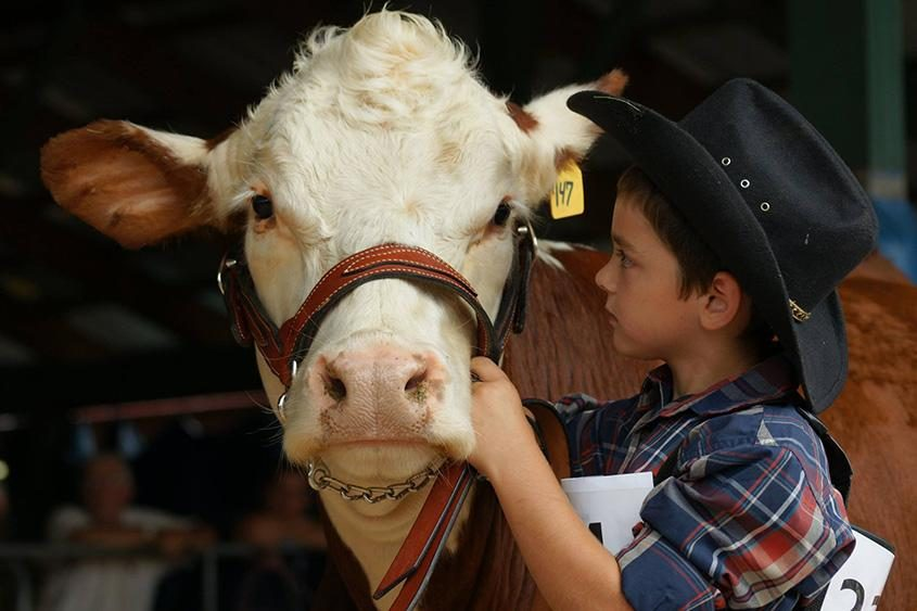 Cows are some of the stars of this year's Washington County Fair.