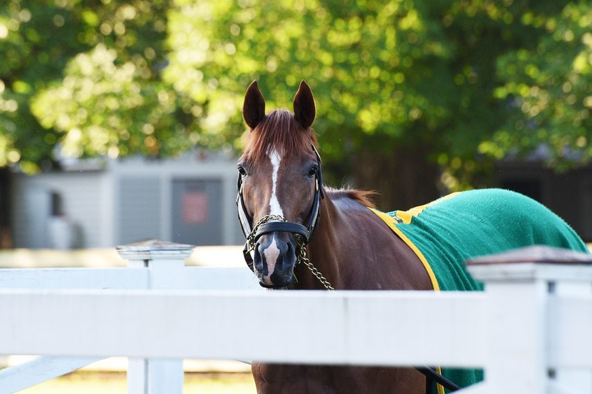 Travers contender Code of Honor keeps an eye on things from the grazing area at trainer Shug McGaughey's barn.