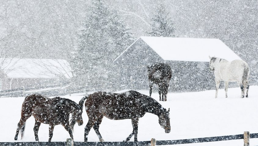 Horses graze on a field in the snow on Fitch Road in Saratoga Springs Jan. 19