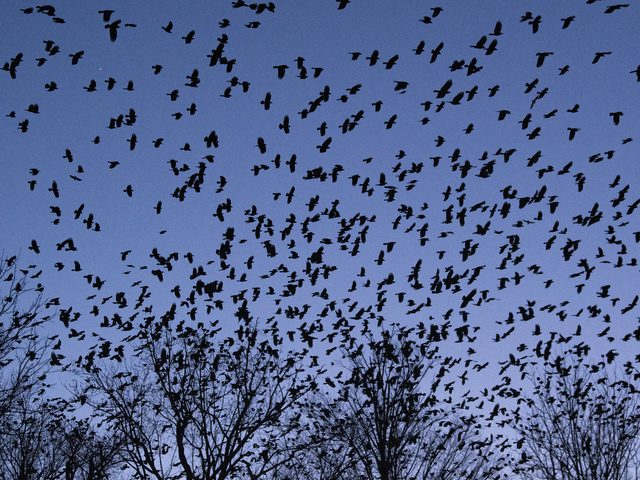 Thousands of crows fill the skies above Church Street in the city of Amsterdam on Friday.