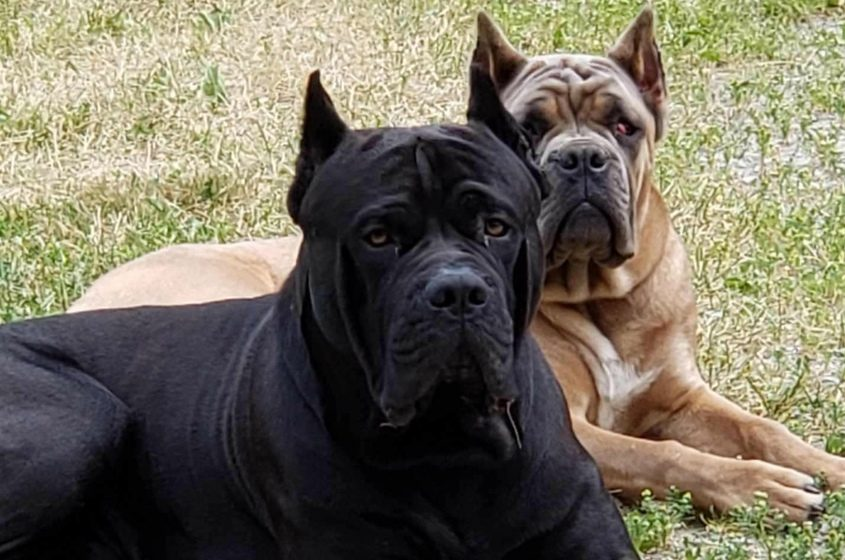 Therapy dogs Orso and Lucia have been missing for a week.