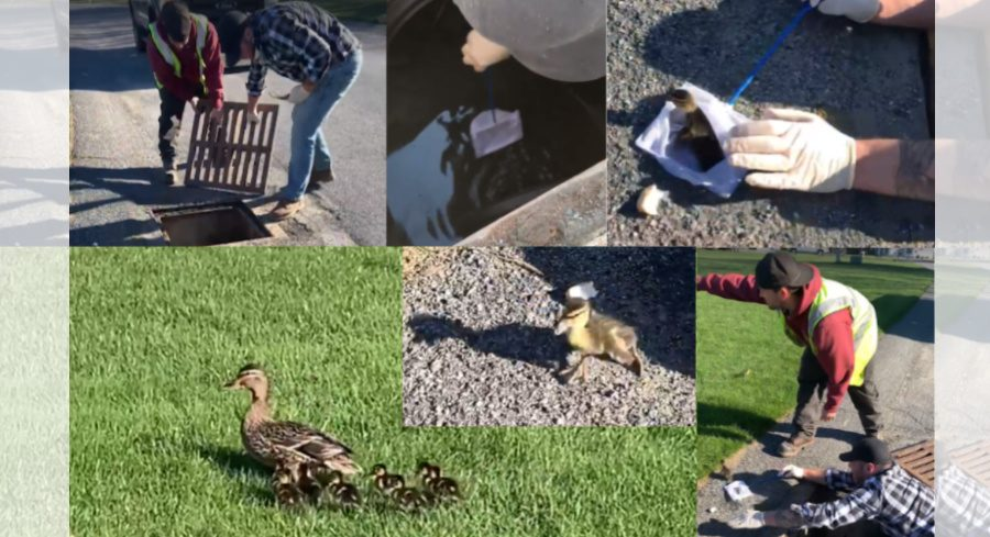 Rotterdam water department workers Matt Lupi, plaid, and Mike Colarossi, red, help rescue ducks in Rotterdam Thursday
