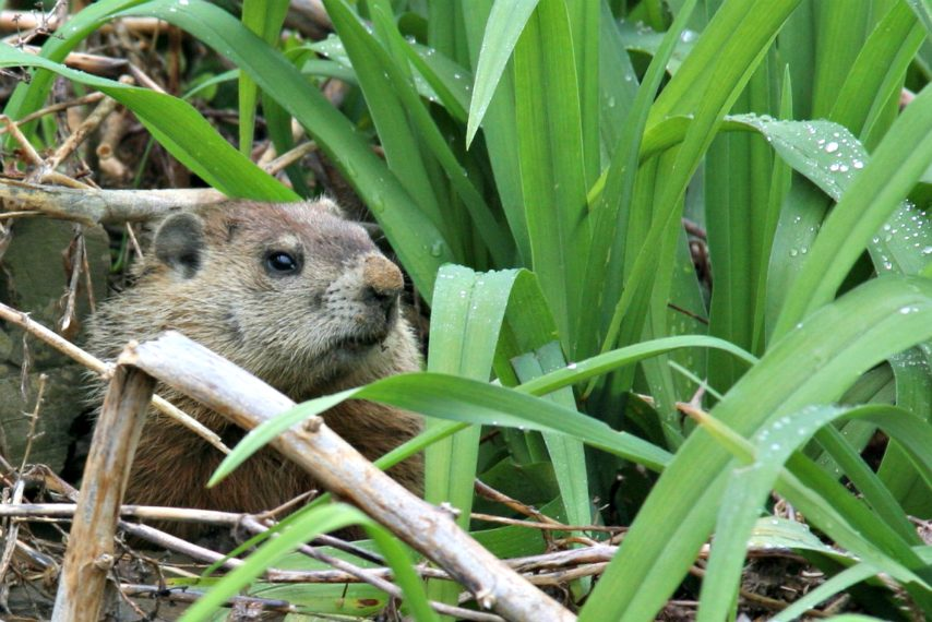 A woodchuck damaging a variety of plants.