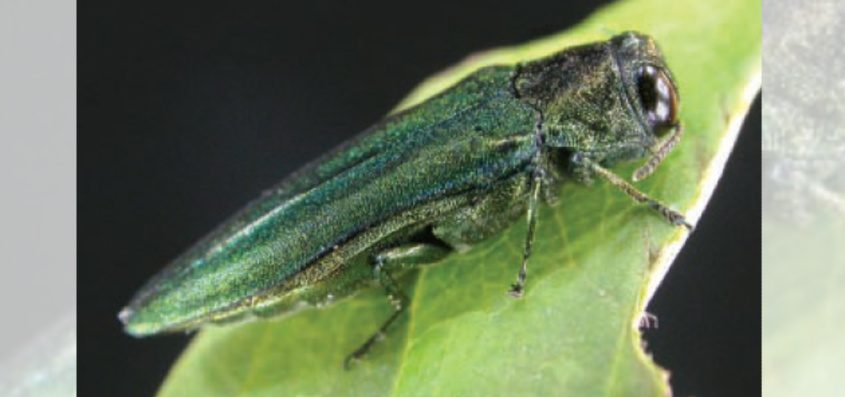 An emerald ash borer is seen.