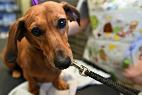 Stella, a dachsund, is ready for her close-up Sunday morning at Wag Town Grooming. Stan Hudy/Staff