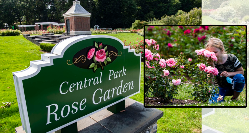 A youngster takes off her mask to smell the roses in the Central Park Rose Garden in Schenectady Wednesday. Photos by Peter Barber/Staff Photographer