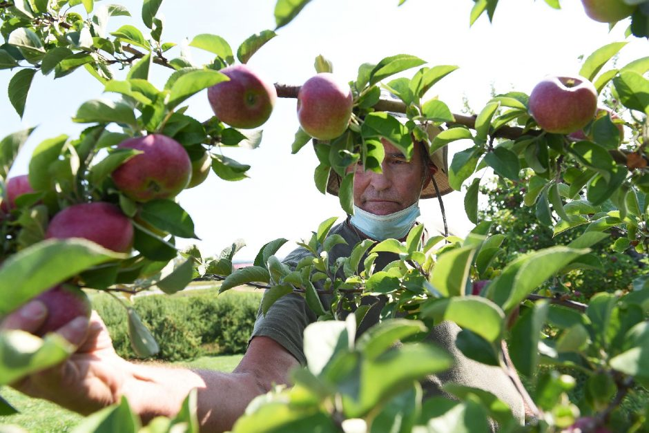Saratoga Apple owner Nate Darrow picks a Macintosh apple as apple picking season has begun atthe Schuylerville orchard. (Erica Miller/Staff Photographer)