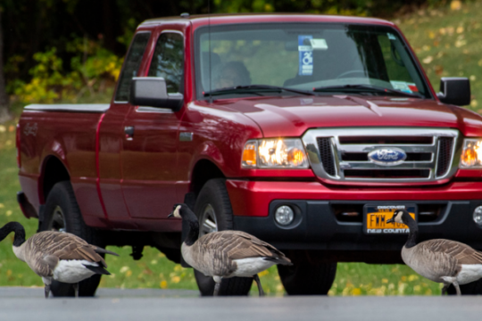 A motorist waits as Canada geese cross in front of him at Fehr Avenue and Duck Pond Road in Schenectady Tuesday. Credit: PETER R. BARBER/STAFF PHOTOGRAPHER