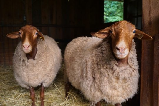 Stone Farm in Charlton raises California Red sheep, one of just three farms in the state to do so. Photo provided