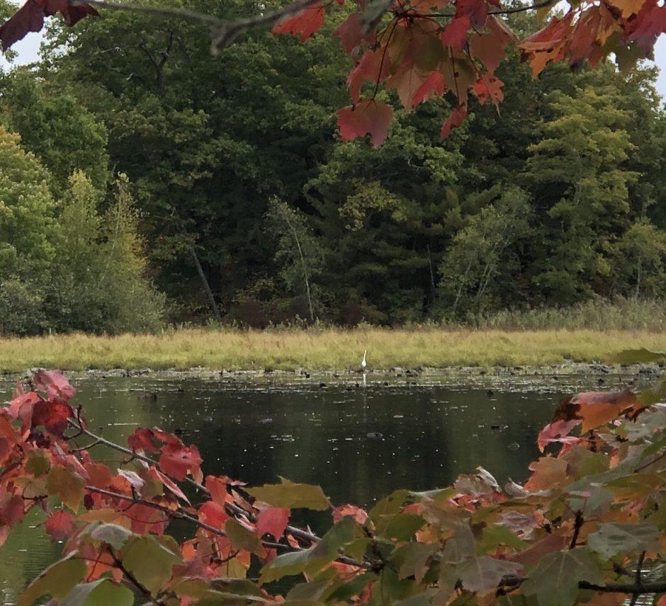 An egret stands on the far side of a wetlands pond. (Margaret Hartley)