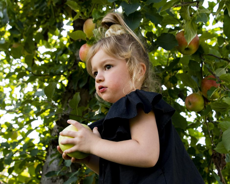 Three-year-old Norah Willis of Glenville picks an apple at Fo'Castle Orchards in Burnt Hills Saturday. Credit: PETER R. BARBER/STAFF PHOTOGRAPHER