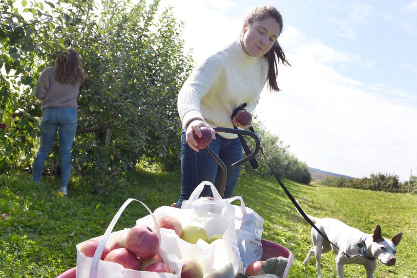 Cecelia Sanchirico, of Sprakers, with her dog Barley and friend Elizabeth DeGroff, of Saratoga Springs, pick bags of apples on a sunny fall Columbus Day at Bellinger's Orchard in Fultonville on Monday. (Erica Miller/Staff Photographer)