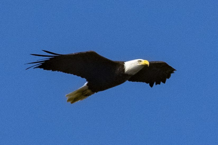 A Bald Eagle soars above Route 146 in Clifton Park Thursday
