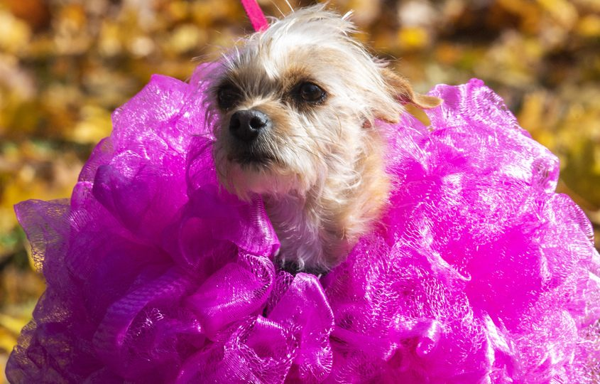 Phyllis dressed tutu is walked by her owner Annette Kardi at a Halloween Dog Parade on Lexington Parkway in Niskayuna Saturday